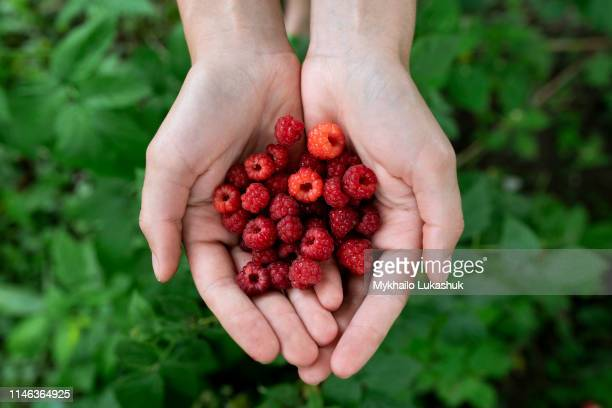 woman's cupped hands holding raspberries - raspberry stock pictures, royalty-free photos & images