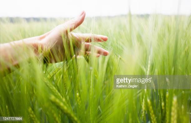 woman's hand brushing through wheat field - grano graminacee foto e immagini stock