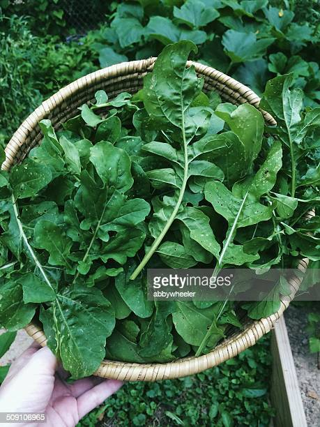 Woman's hand holding a basket of freshly picked arugula