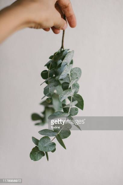woman's hand holding a eucalyptus branch - eucalyptus tree stock pictures, royalty-free photos & images