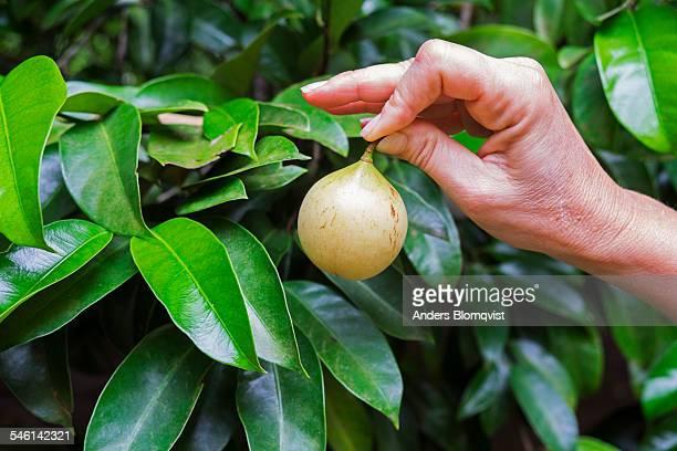Womans hand holding a nutmeg fruit, Seychelles