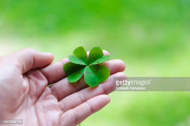 woman's hand holding four leaf clover - luck stock pictures, royalty-free photos & images