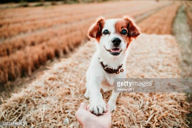 woman's hand holding paw of dog on straw bale - paw stock pictures, royalty-free photos & images