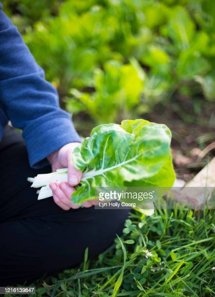woman's hand holding swiss chard - lyn holly coorg stock pictures, royalty-free photos & images