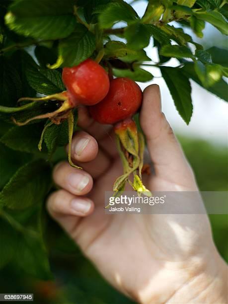 Womans hand picking rosehips from garden bush