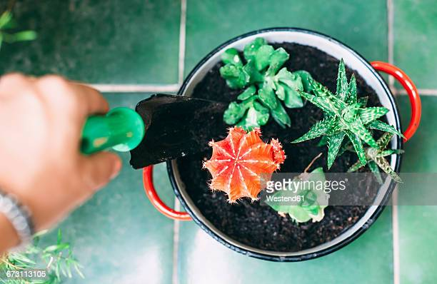 Woman's hand planting cactus in a pot