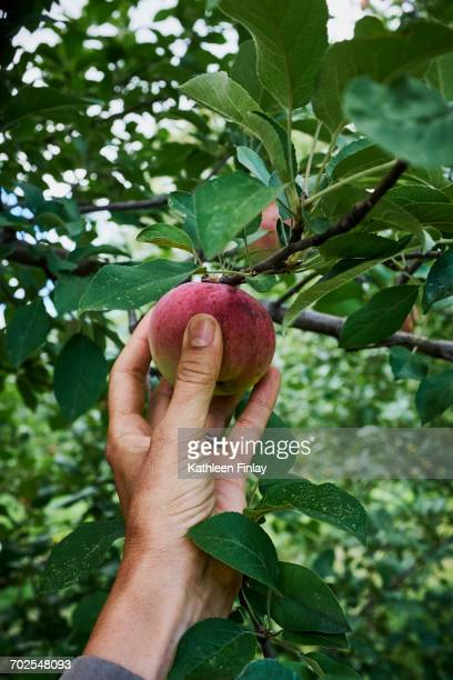 womans hand reaching to pick red apple from apple tree - ripe stock pictures, royalty-free photos & images