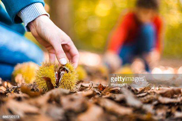 Womans hand taking sweet chestnut from forest soil, close-up