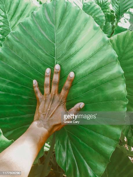 woman's hand touches giant tropical plant leaf in nassau, bahamas - nassau stock pictures, royalty-free photos & images