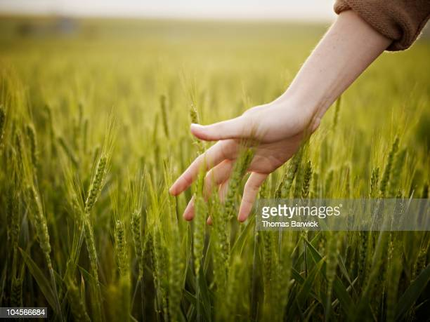 woman's hand touching wheat in field - tocar - fotografias e filmes do acervo