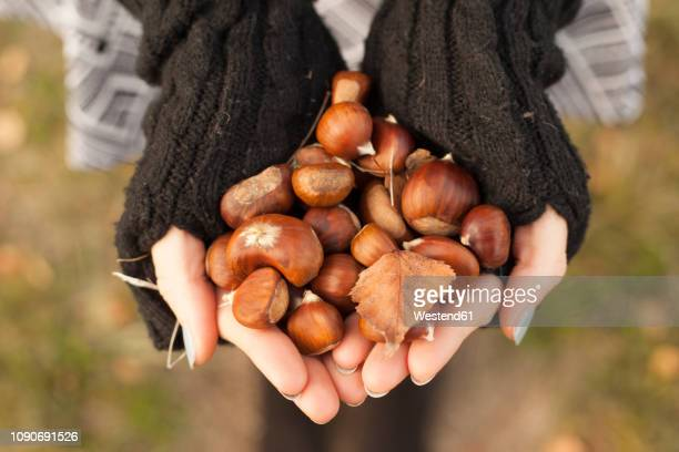 woman's hands holding chestnuts, close-up - castanhas imagens e fotografias de stock