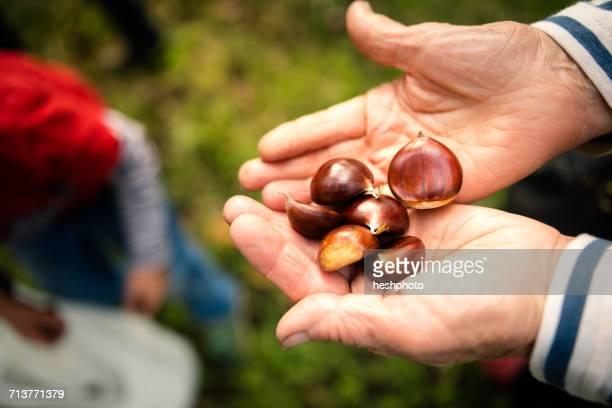 womans hands holding chestnuts in vineyard - heshphoto stock-fotos und bilder