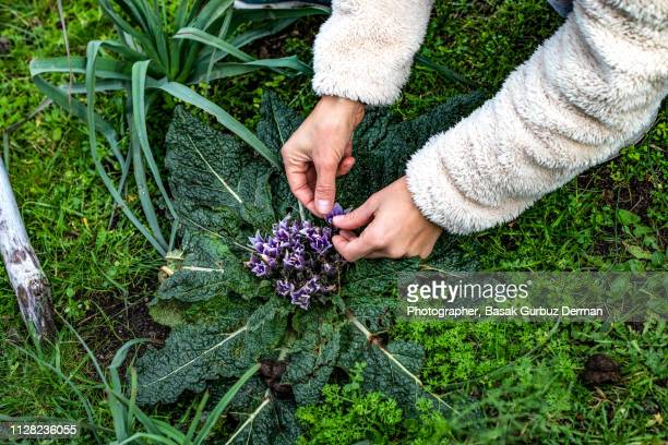 a woman's hands holding the flowers of a plant - botanist stock pictures, royalty-free photos & images
