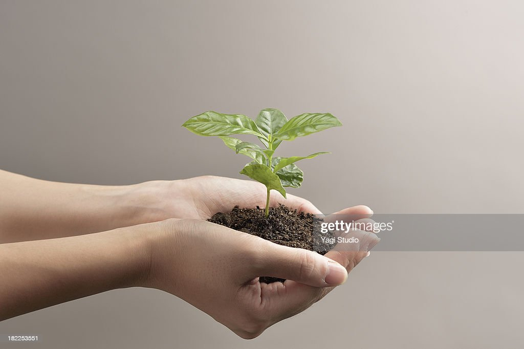 Woman's hands holds small green plant seedling : Stock Photo