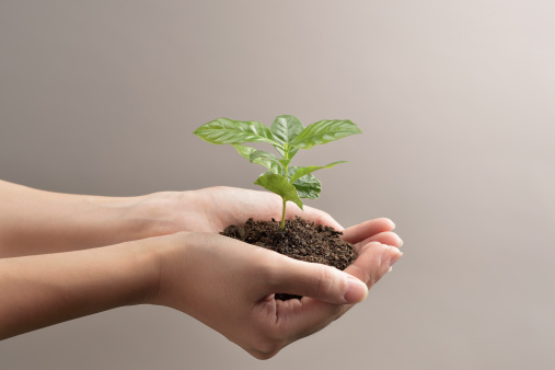 Woman's hands holds small green plant seedling - gettyimageskorea