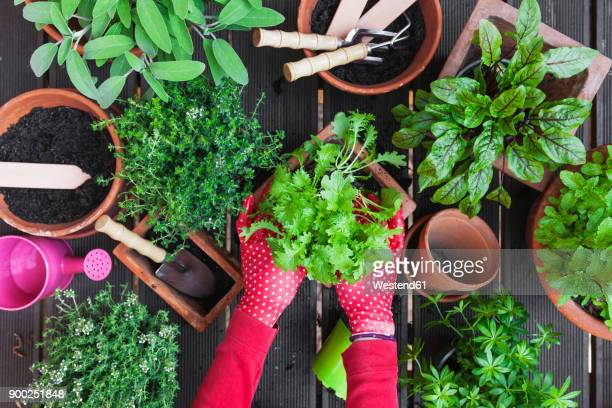 woman's hands planting herbs on terrace - tuinieren stockfoto's en -beelden