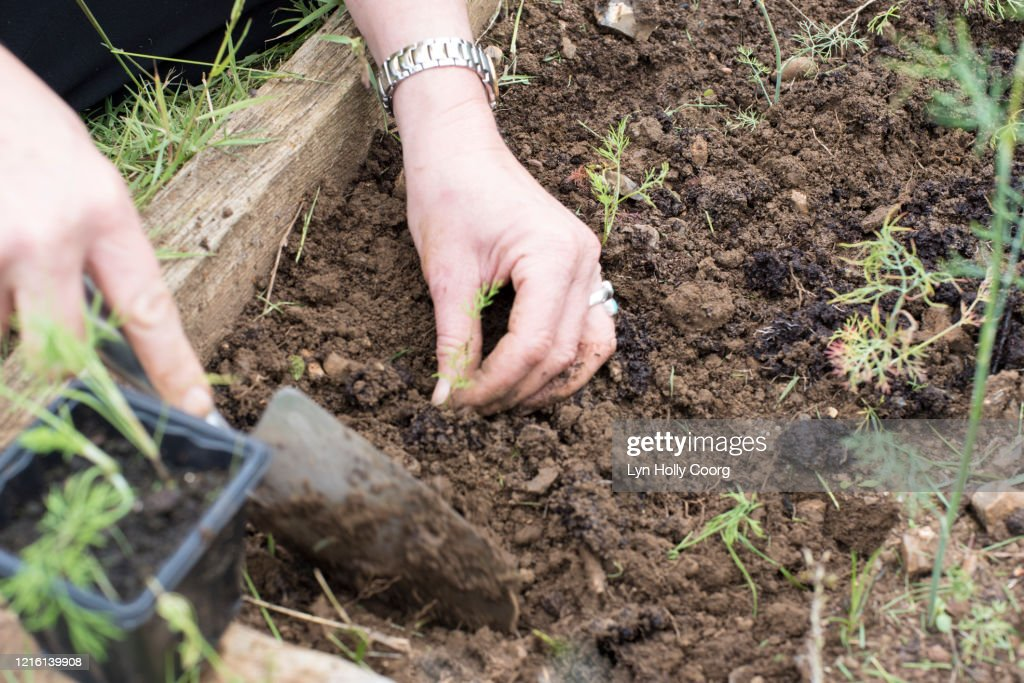 Woman's hands planting seedlings with a trowel : Stock Photo