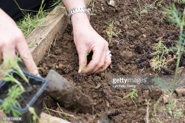 woman's hands planting seedlings with a trowel - lyn holly coorg stock pictures, royalty-free photos & images