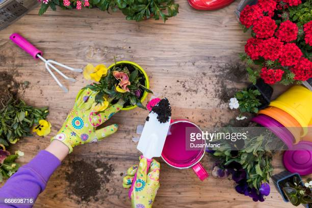 Woman's hands planting spring flowers