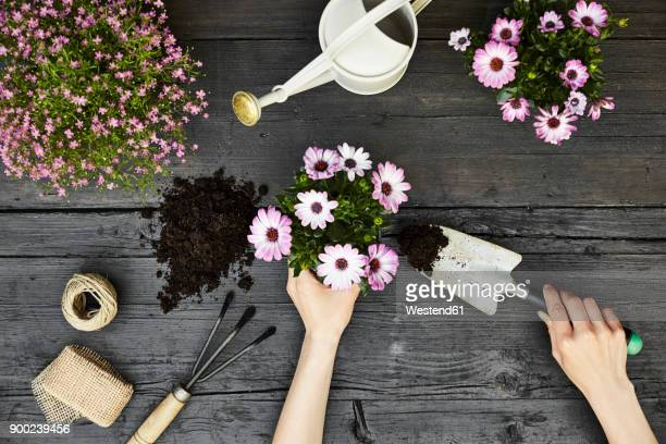 Womans hands potting plant