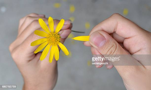 Woman's hands pulling petals off a flower