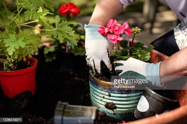 "woman's hands with gloves gardening in suburban backyard. - ""martine doucet"" or martinedoucet stock pictures, royalty-free photos & images"