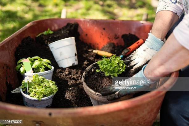 """woman's hands with gloves gardening in suburban backyard. - """"martine doucet"""" or martinedoucet foto e immagini stock"""