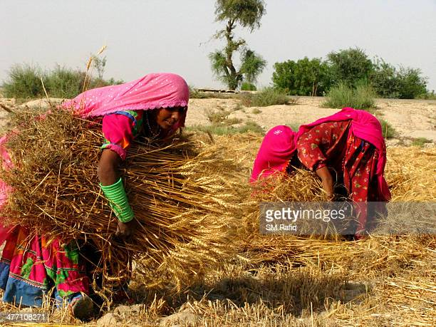 CONTENT] Womans performing her duties in the fields of sindh rural areas