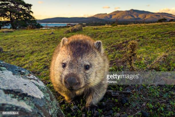 wombat at lesueur point with mt mt maria at the background. maria island, tasmania - marsupial imagens e fotografias de stock
