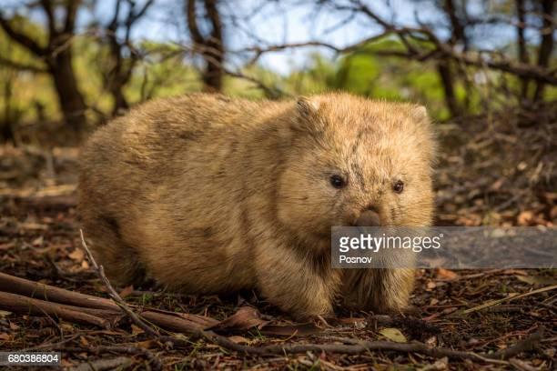 wombat at maria island, tasmania - wombat stock pictures, royalty-free photos & images