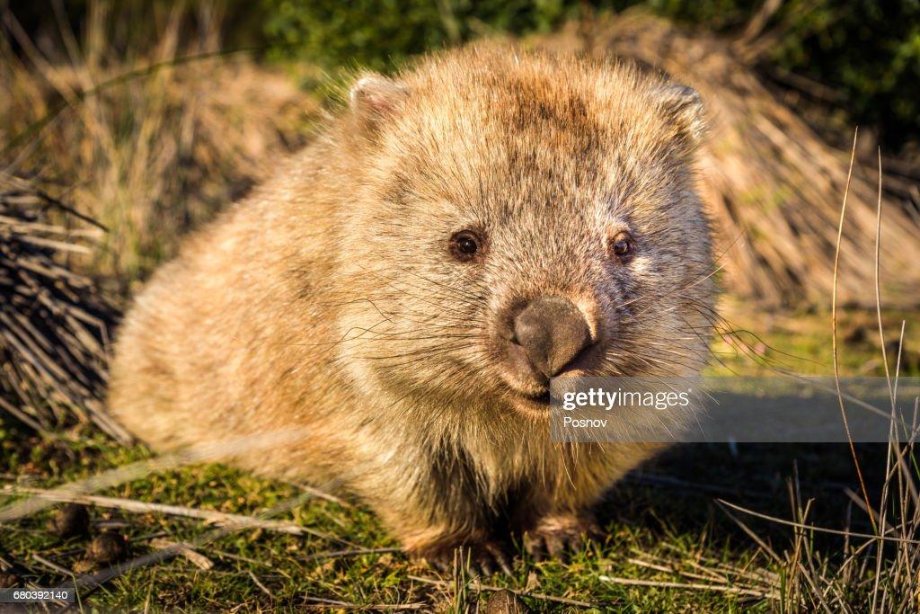 Wombat at Maria island, Tasmania : Stock Photo