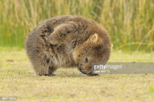 Wombat , Australie.