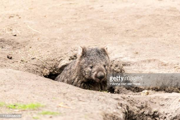 a wombat coming out of it's burrow  (den) near bischeno , tasmania, australia - wombat stock pictures, royalty-free photos & images