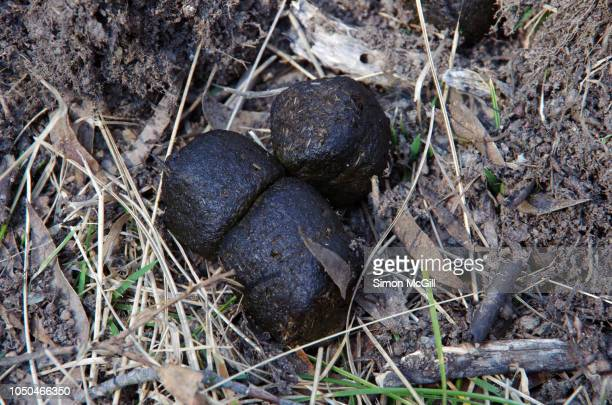 wombat feces in kosciuszko national park, new south wales, australia - cacca foto e immagini stock