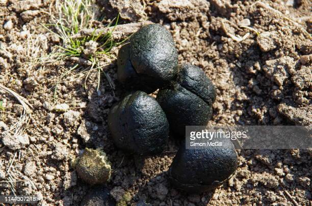 wombat feces in kosciuszko national park, new south wales, australia - fezes imagens e fotografias de stock