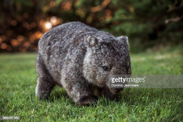 wombat in kelso, tasmania, australia - wombat stock pictures, royalty-free photos & images