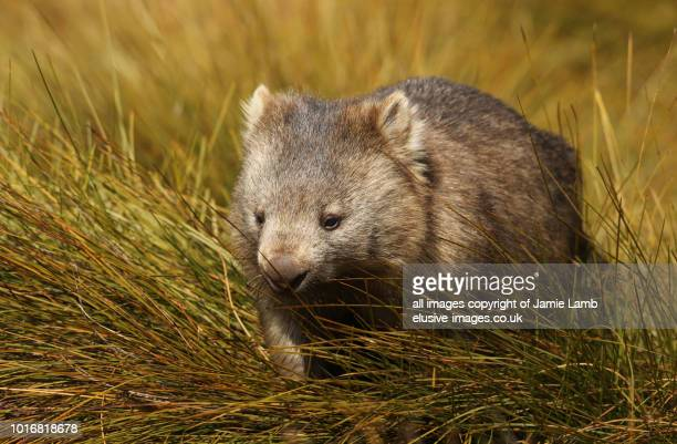 wombat in tasmania - marsupial imagens e fotografias de stock