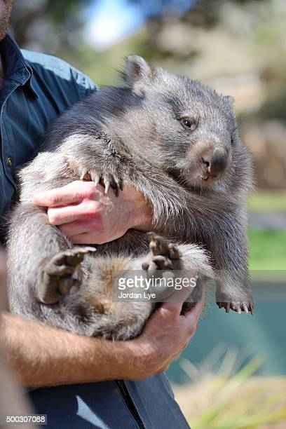 wombat in the arms of a carer
