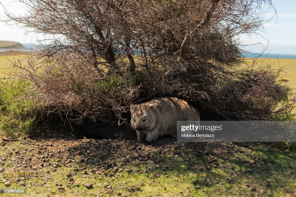 wombat on Maria Island : Stock Photo