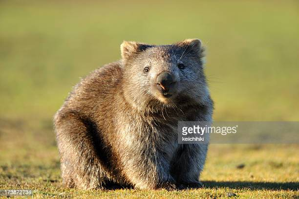 wombat - mammal stock pictures, royalty-free photos & images