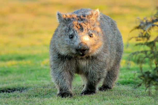 Image result for wombat images