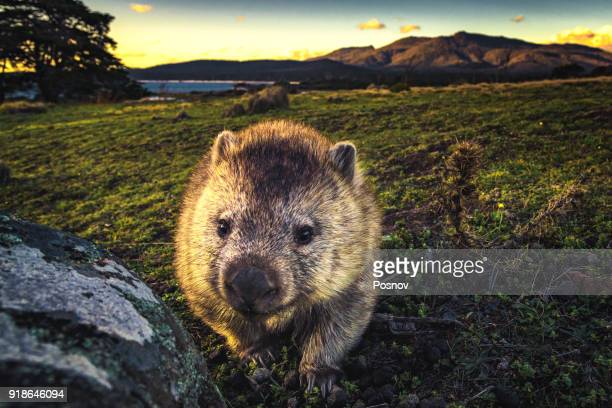 wombat - wombat stock pictures, royalty-free photos & images