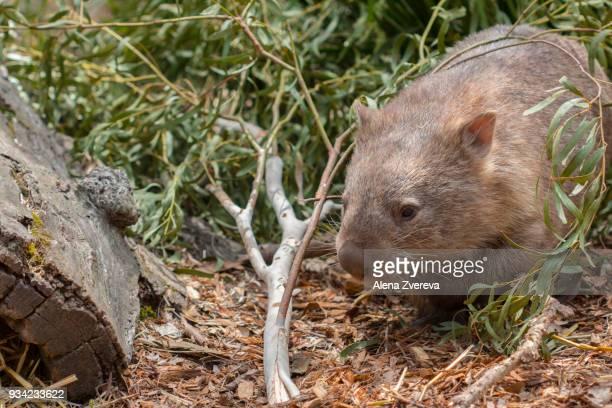 wombat - marsupial imagens e fotografias de stock