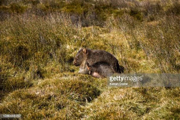 wombat scratching - wombat stock pictures, royalty-free photos & images