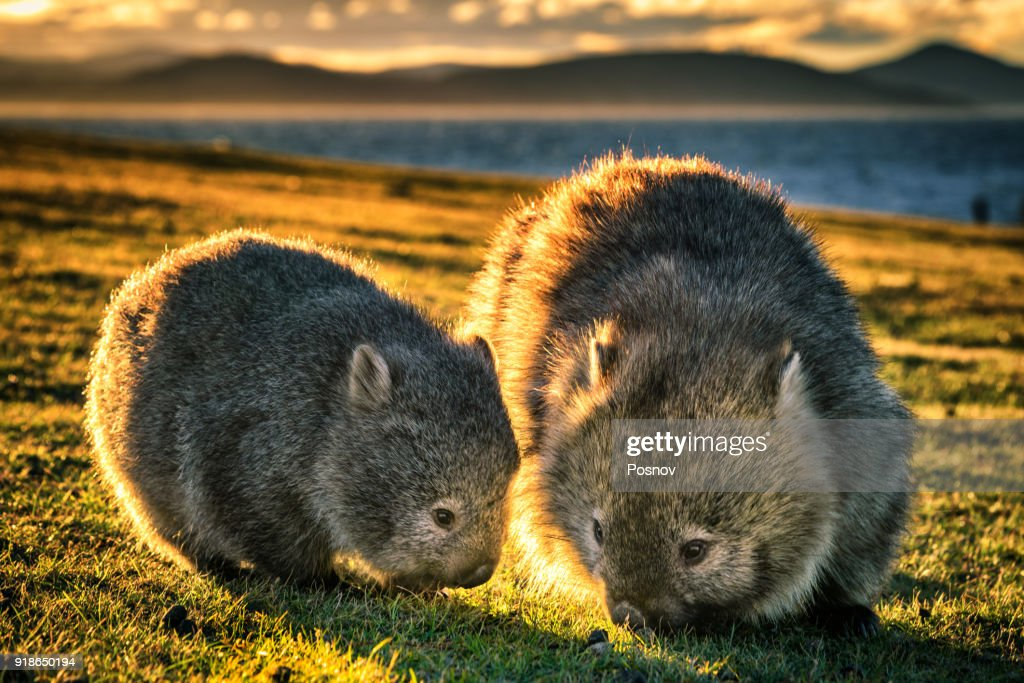Wombats : Stock Photo