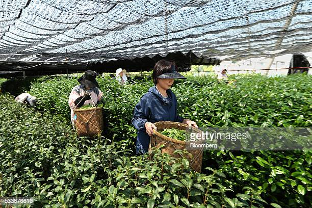 Women carry baskets of freshly picked tea leaves in a tea field partially covered in a cloth sunshade at the Maruri Yoshidameichaen tea plantation in...