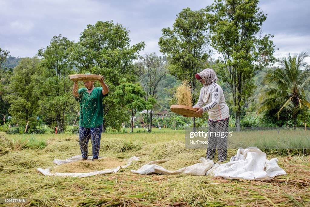 Rice Farming In Indonesia : Nieuwsfoto's