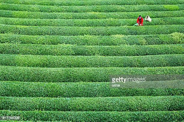 women collecting green tea - camellia sinensis stock photos and pictures