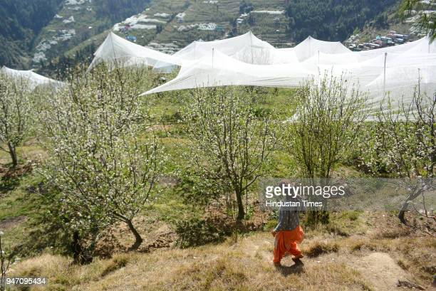 A women crossing through the blooming apple trees with anti hail nets during the flowering at Kotkhai on April 16 2018 in Shimla India The rain and...