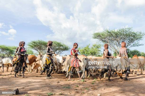 Women dancing around the cattle during a bull jumping ceremony A rite of passage from boys to men rom the Hamer tribe